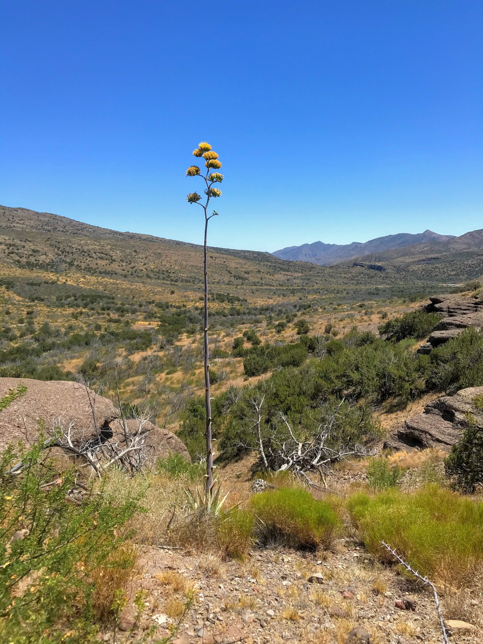 Bloody Basin Road Tonto National Forest blooming agave