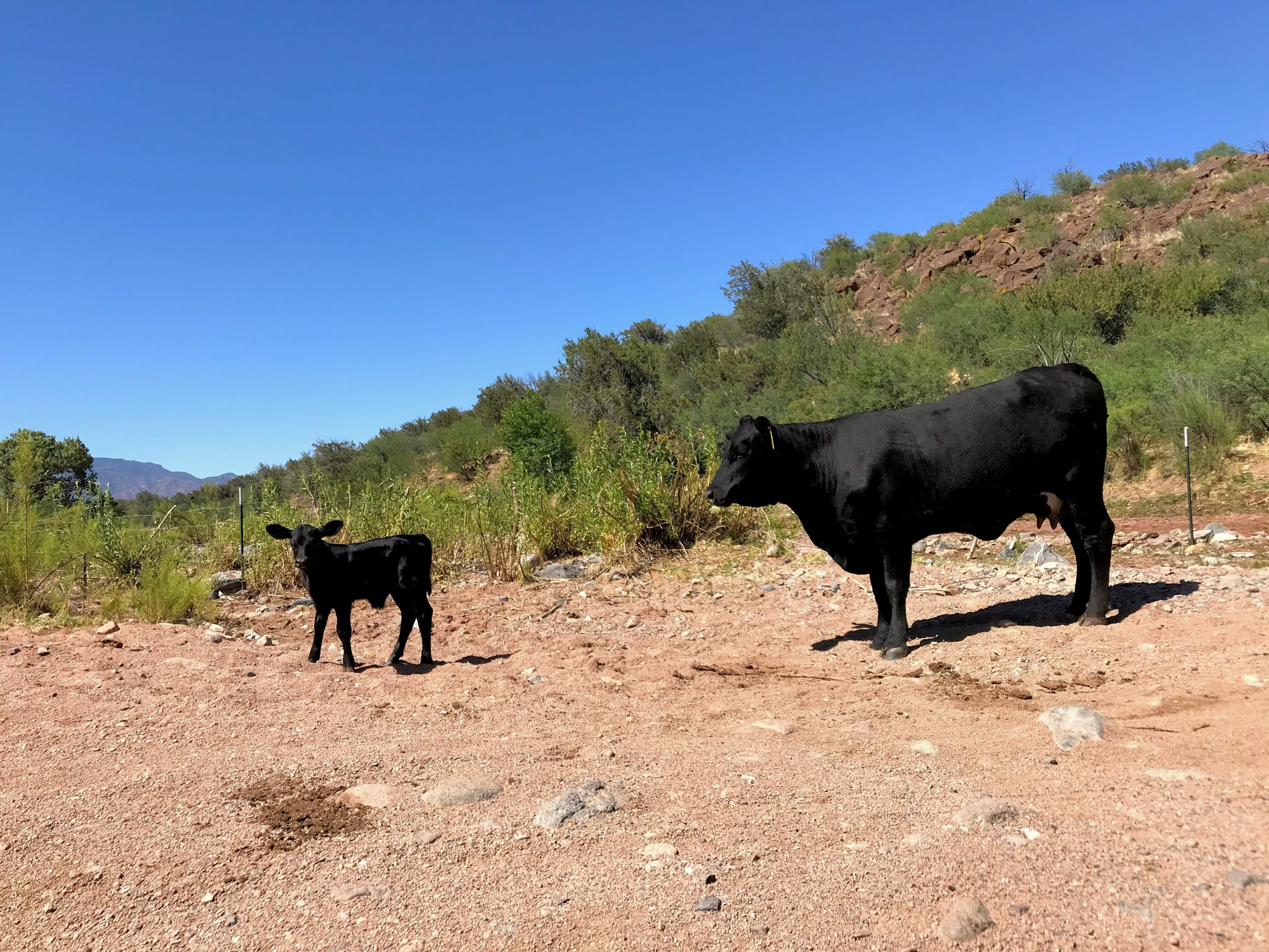 Bloody Basin Road Tonto National Forest cows on the road