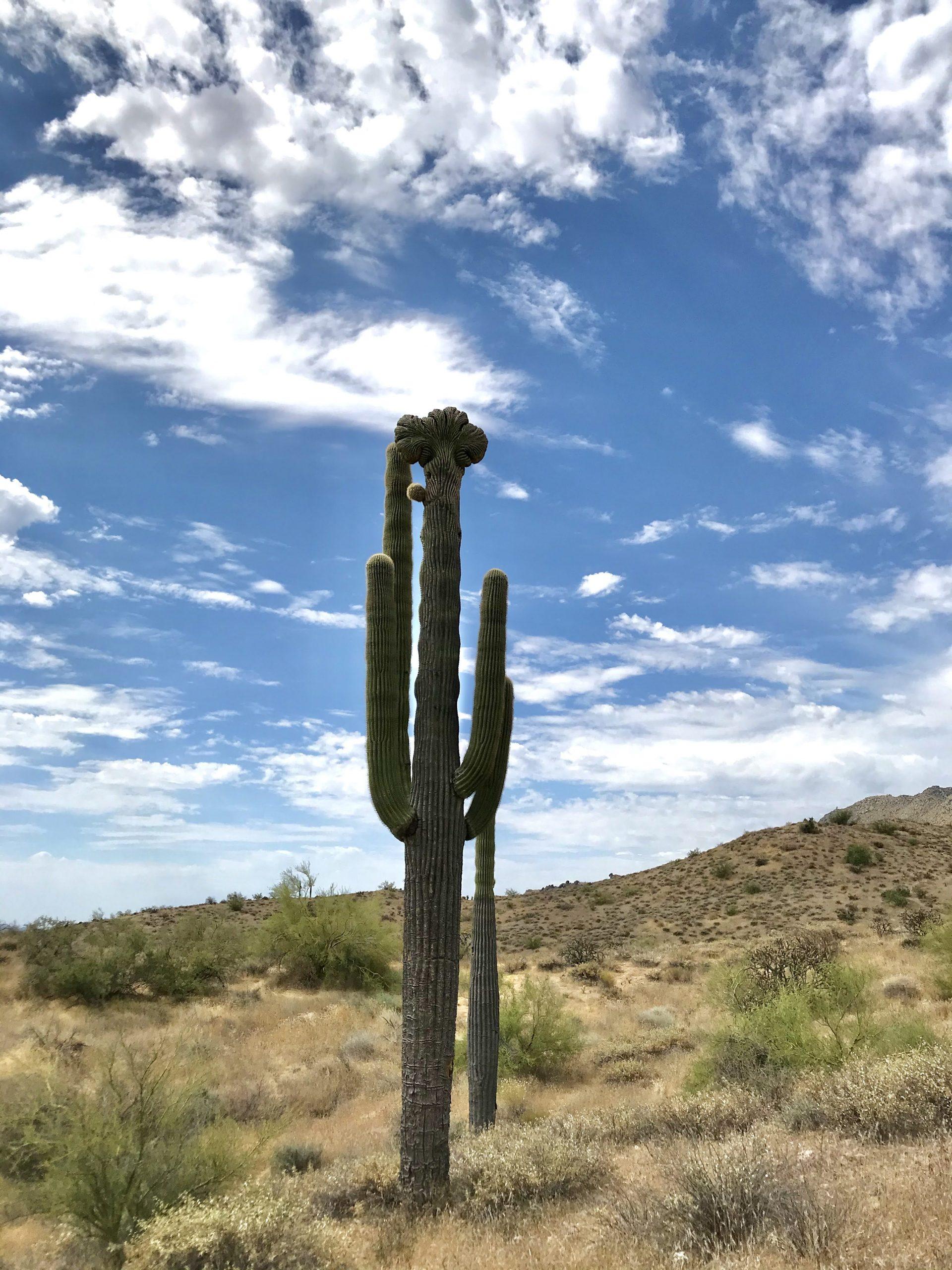 Saguaro Nest Trail McDowell Sonoran Preserve crested saguaro face