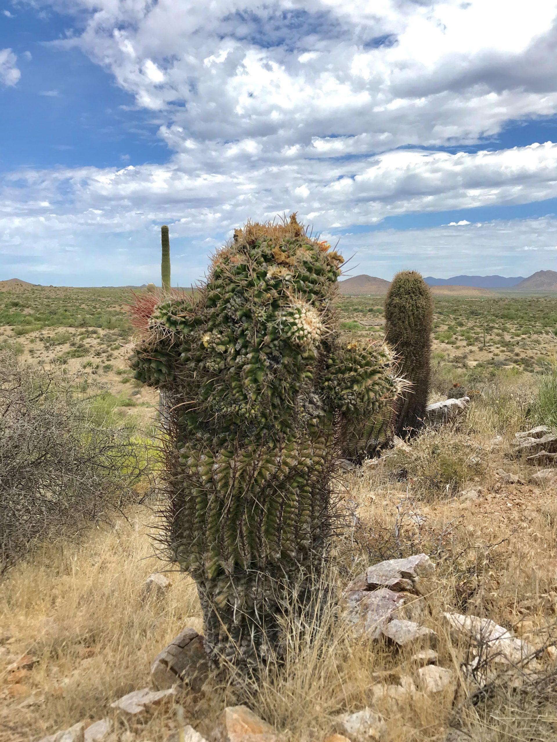 Saguaro Nest Trail McDowell Sonoran Preserve barrel cactus mutant