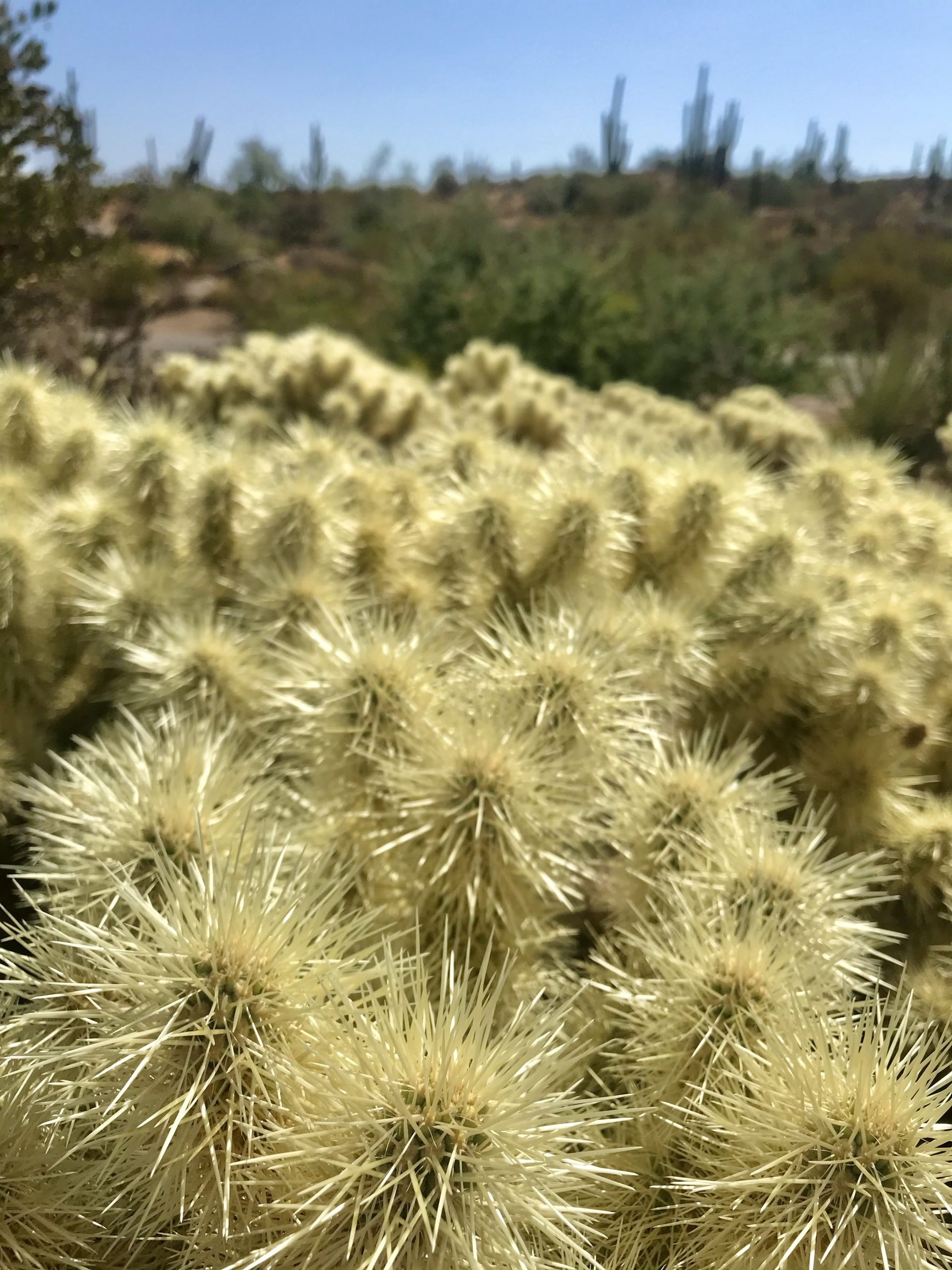 Latigo Chuckwagon loop hike cholla