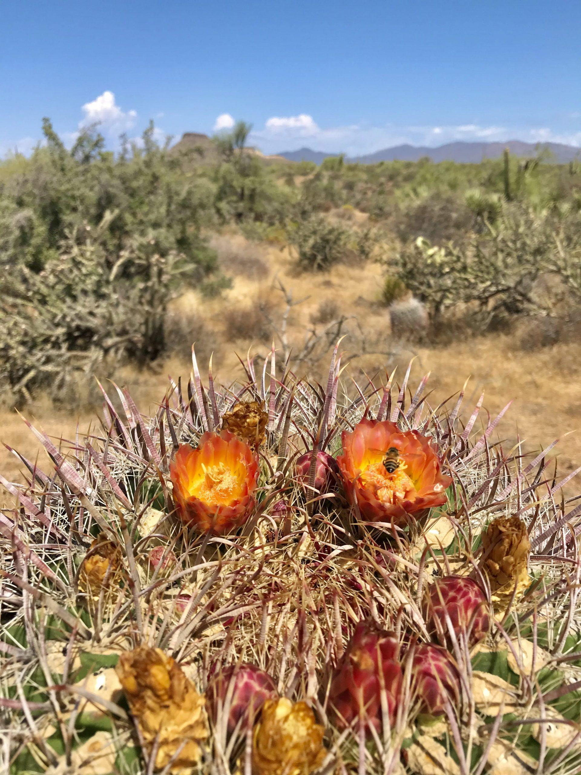 Latigo Chuckwagon loop hike blooming barrel cactus